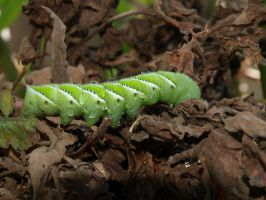 Tobacco hornworm 8 by photographyflower