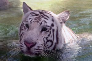 White Tiger Face - Stock by Sassy-Stock