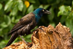 Grackle attitude by MichelLalonde