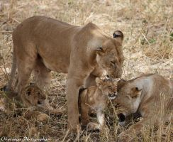 Lion Family by Okavanga