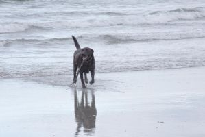 The Beach Reflection, Black Dog by Miss-Tbones