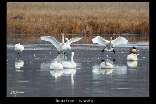Tundra Swans  Icy landing by DGAnder