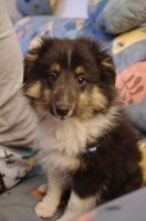 Cute Sheltie Torry 2 by DucatiDeluxe