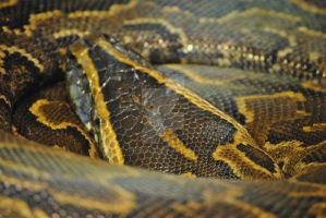 Python Close-up by zypher052