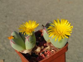 Conophytum (B RL) with 2 Yell.Flow. 14 10m 02 #34 by UAkimov09