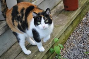 Annie the Calico cat by MireInHypocrisy