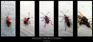 Life and Death of a Box Elder by BioToxxx