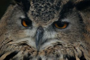 Eagle Owl by little--grasshopper