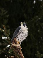 Winter Falcon by Psychopomp16