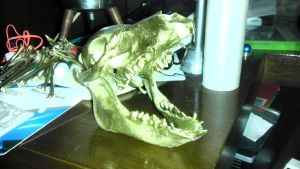 Golden Wilbert Skull 3/4 Flash Snap View by Ruschman