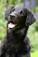 Flatcoated Retriever by SaNNaS