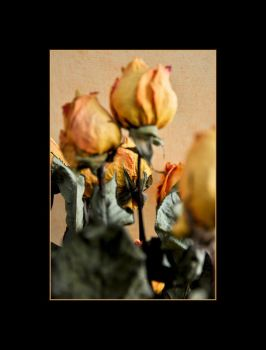 Roses by clavito
