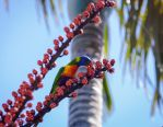 The Lorikeet Tree...3 by midnightrider79