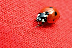 Lady bug by DuffyGraham