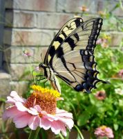 Tiger Swallowtail on Zinnia by Daniel-Storm