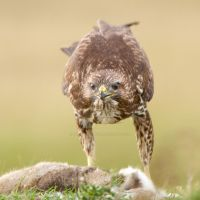 All mine - Common Buzzard by Jamie-MacArthur