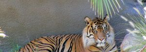 Tiger by HDevers