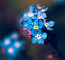 Forget-me-not by TimeaHatvani