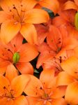 orange lilies by piglet365