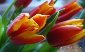 tulip by andi40