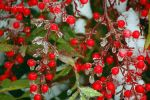 iced nandina by photom17