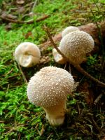Little czech mushrooms by Andenne