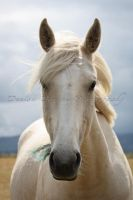 Palomino by DenisaKc