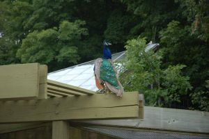 Peacock on the roof by CanuckZD