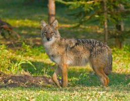 Coyote 2 by Les-Piccolo
