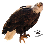 Cut-out stock PNG 48 - proud bald eagle by Momotte2stocks