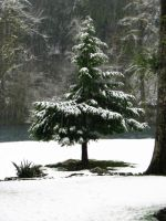 Snowy Pine II Stock by Moonchilde-Stock