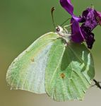 Green brimstone butterfly (crop version) by Smederevac