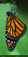 Photo - Monarch by emailandthings