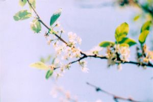 White Blossom by sophierevell