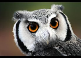 White-Faced Owl II by SarahVlad