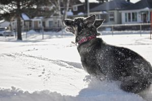 onyx playing in the snow by ummok123