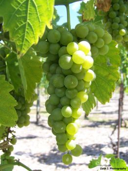 Grapes by ZJ-photography