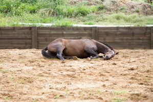 KM Old TB laying rolling 9 by Chunga-Stock
