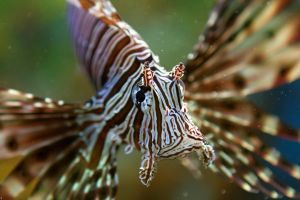 Lion Fish by PenguinPhotography