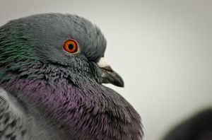 Pigeon Eye by ephimetheus