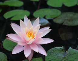 Water lily by workwoman