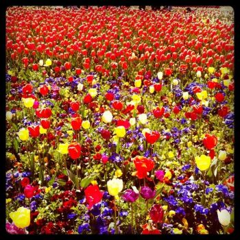 Bed of Tulips. by Goya117