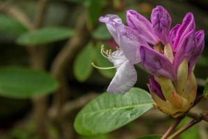 13-05 Rhododendron #2 by evionn