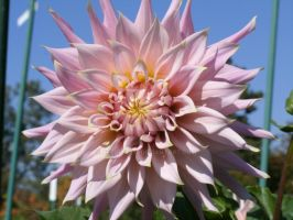 Large light pink flower by SeeOrSeem