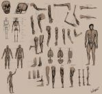 Human anatomy studies by Autlaw