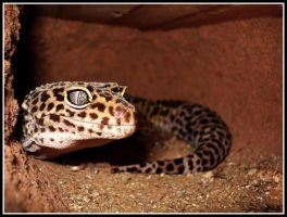 Leopard gecko. by sunnytally