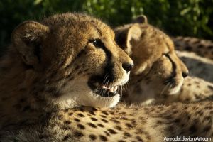 Cheetah Brothers by amrodel