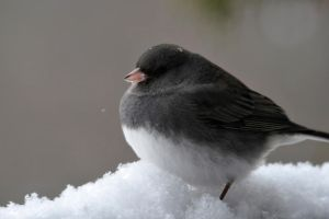 Junco all puff up by MichelLalonde