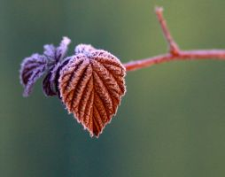 Frosty leaves in morning light by Maresolo