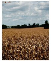Corn Field by stillpretty
